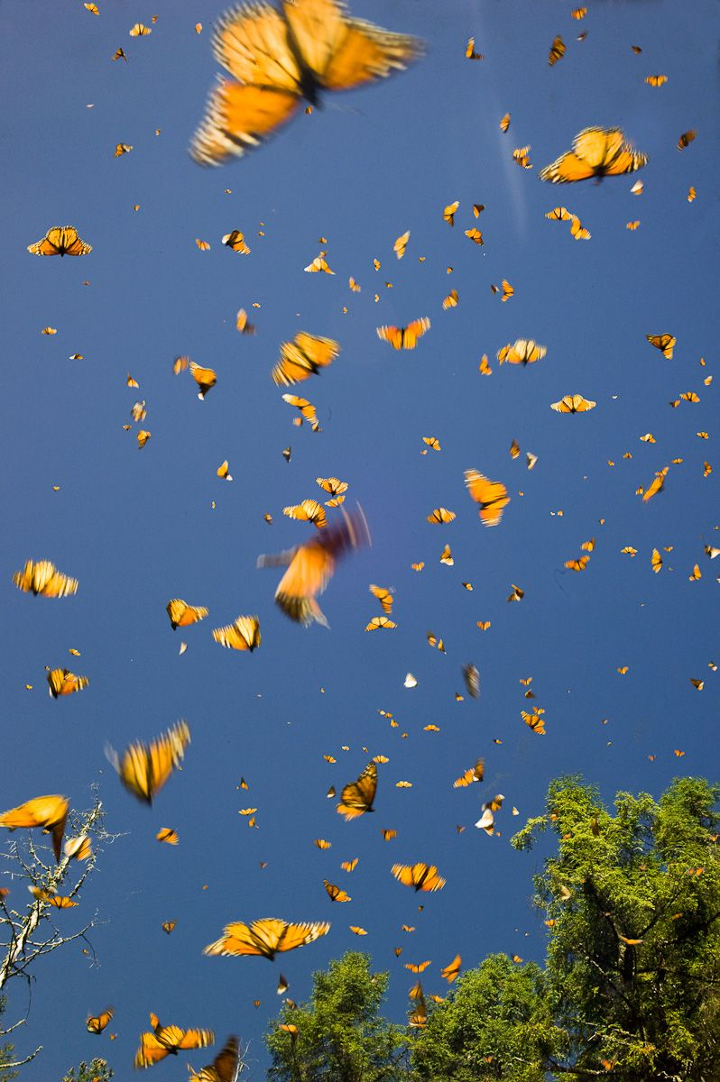 Monarch Butterfly yearly migration in Mexico   Papéis de ...