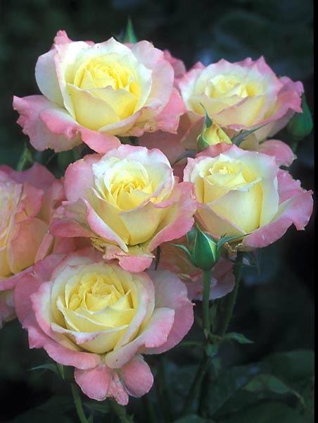 Modern Cluster Floribunda, Very Fragrant    Yellow - Pink tipped Roses
