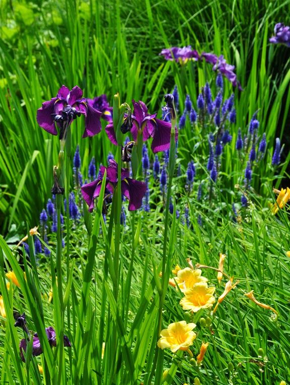A japanese iris with blue veronica in behind and a repeat for Japanese pond plants