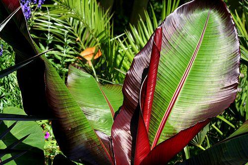 Free Plant Identification Musa