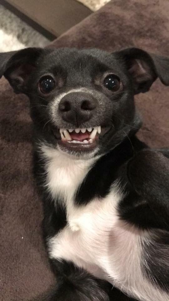 Stevie Nicks B4 She Lost Baby Teeth Chihuahua Dogs Doggy Chihuahua