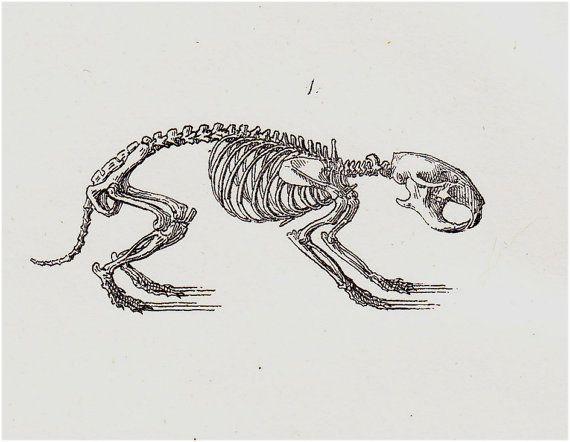 1826 hamster skeleton