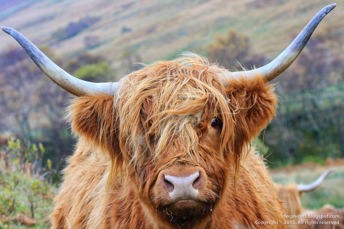 ancient scotish with red hair Scottish Red Highland