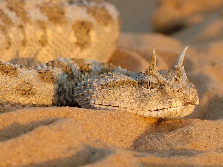 Saharan Horned Viper Cerastes Cerastes Is A Venomous Viper