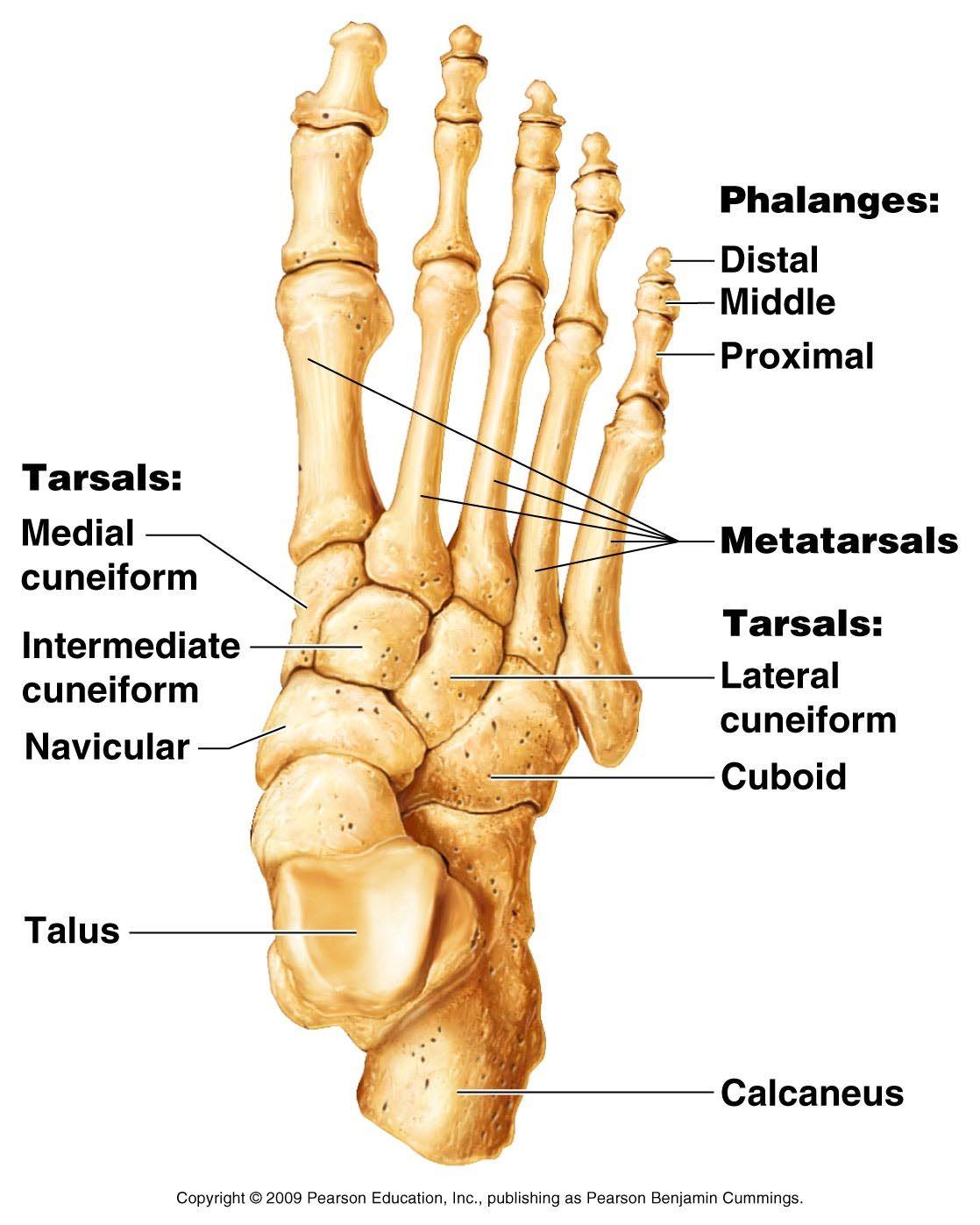 skeleton feet | chapter 5 - appendicular skeleton | skeletal, Cephalic Vein