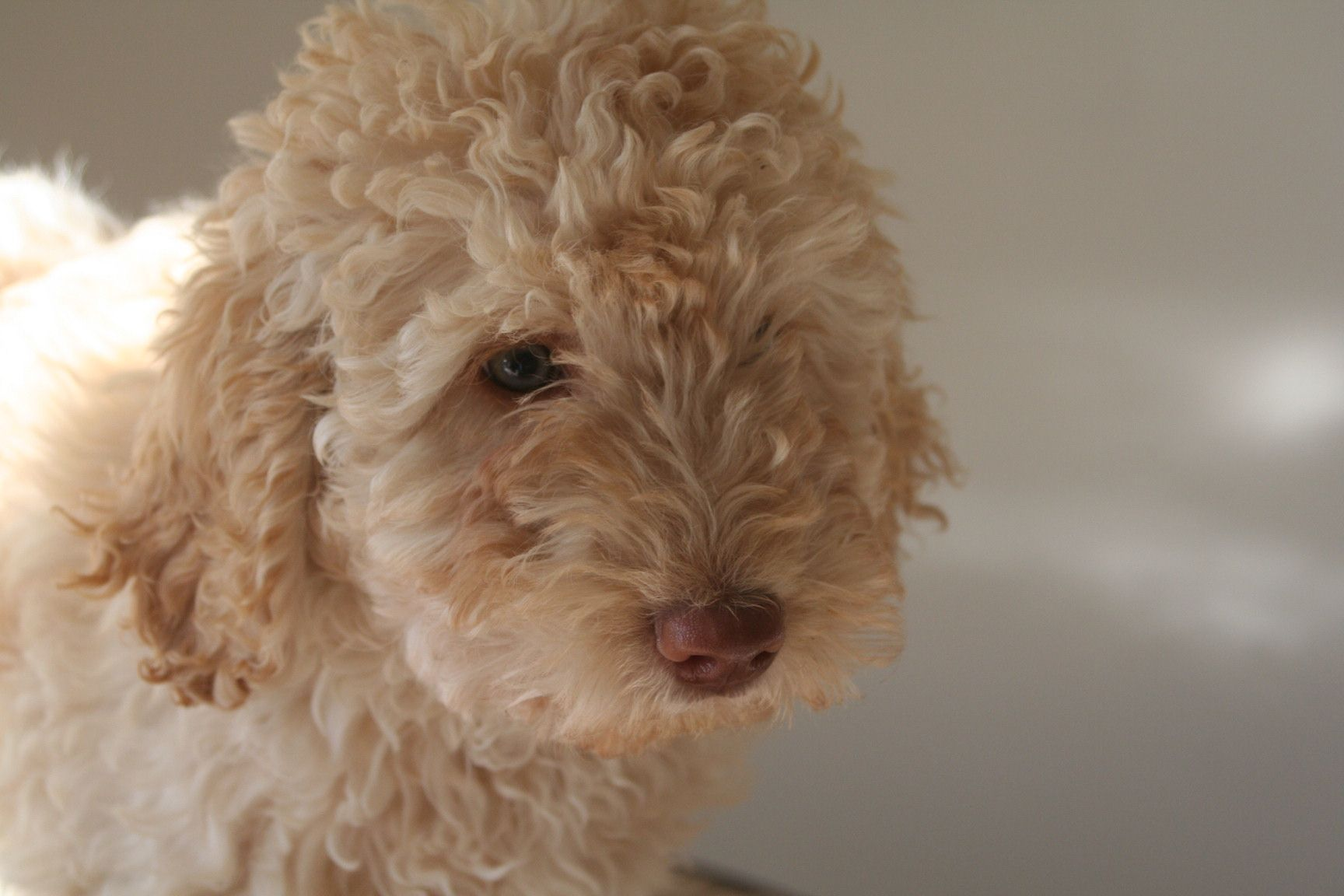 Labradoodle Puppy Picture In Arizona Labradoodle puppy