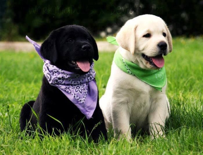 Black Or Blond We Just Can T Decide Labrador Retriever Puppies Labrador