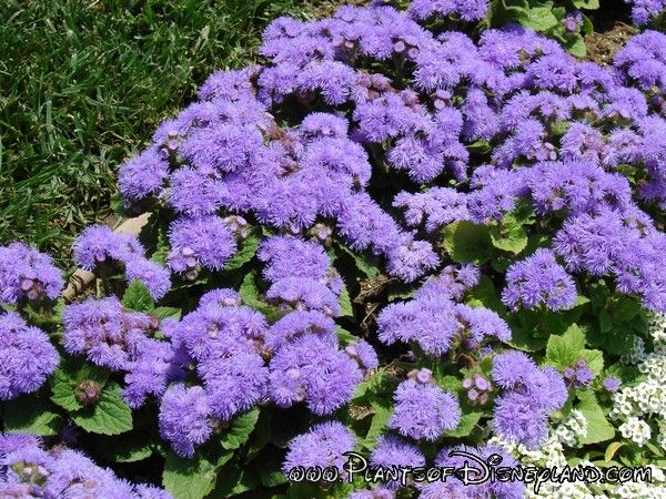 Common Name Floss Flower Scientific Name Ageratum Houstonianum Usda Hardiness Zones Seasonal Pronunciation Ad Plants Trees To Plant Disneyland Main Street