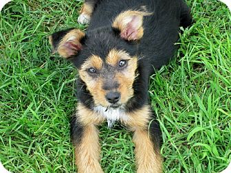Trenton, NJ - Norfolk Terrier/Silky Terrier Mix. Meet Jackie, a puppy for adoption. http://www.adoptapet.com/pet/13016716-trenton-new-jersey-norfolk-terrier-mix