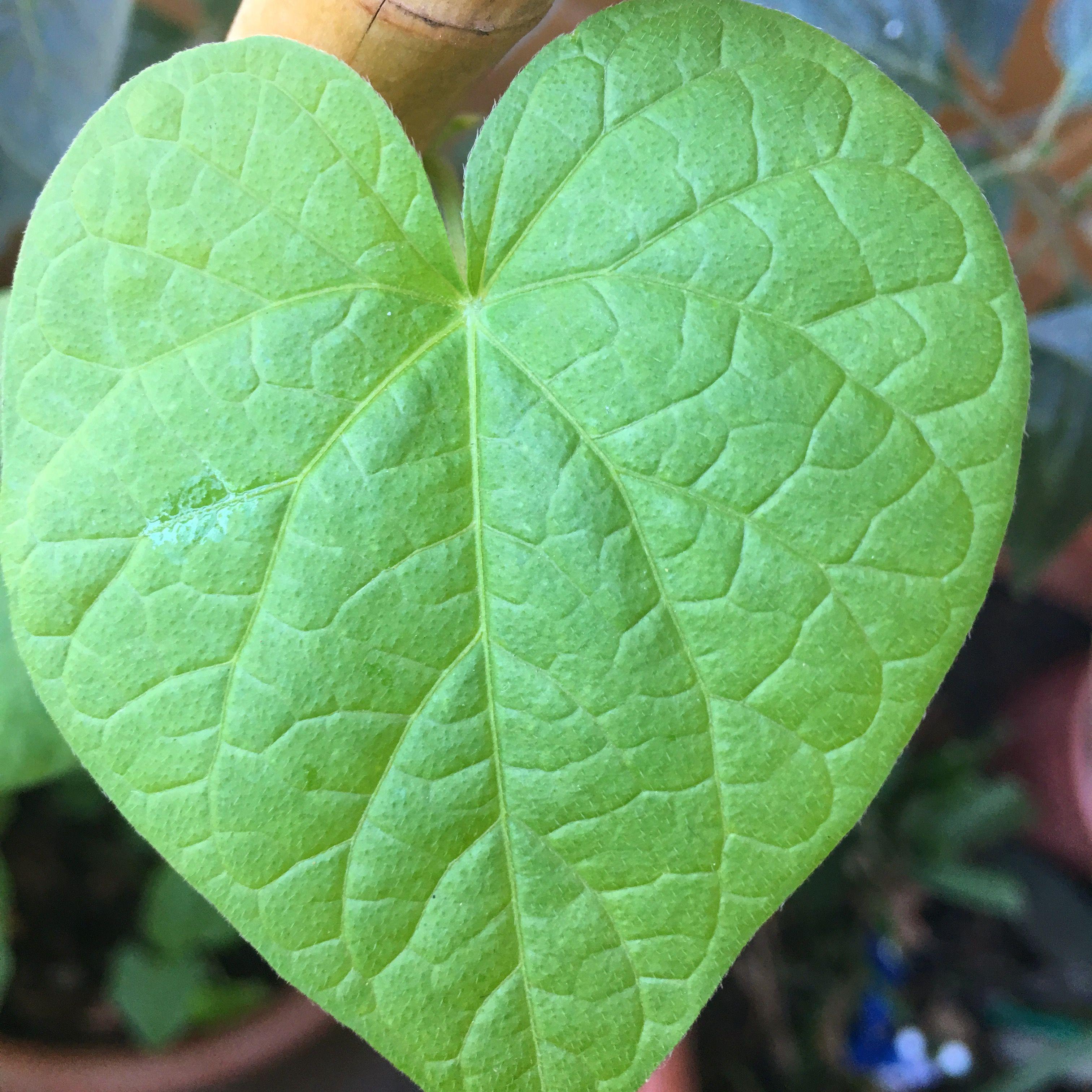 Esse coração é uma das folhas da minha ipomoea purpúrea que está crescendo lindamente por aqui.  Eu planto ipomeias todo ano, mas nesse decidi acompanhar novamente o processo de crescimento e revitalizar o post antigo que tenho sobre elas. ❤️ Espero ansiosa para saber qual é a cor das flores. 😅  #saberesdojardim #ipomoea #ipomoeapurpurea #ipomeias #trepadeira #minhasplantas #meujardim #jardimdeapartamento #jardimnavaranda