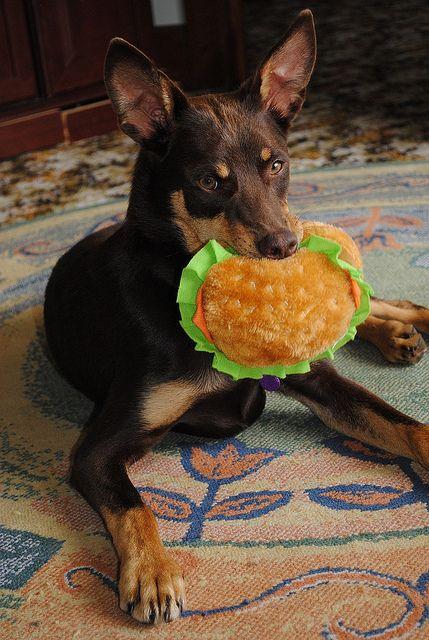 Kelpie Working dogs, Dog photos, Cute dogs