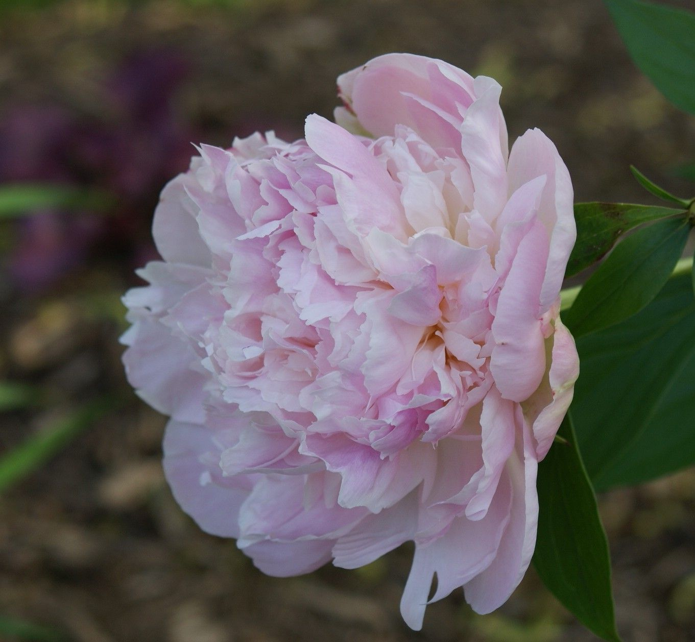 Double Chinese Peony Myrtle Gentry Paeonia Lactiflora Spring