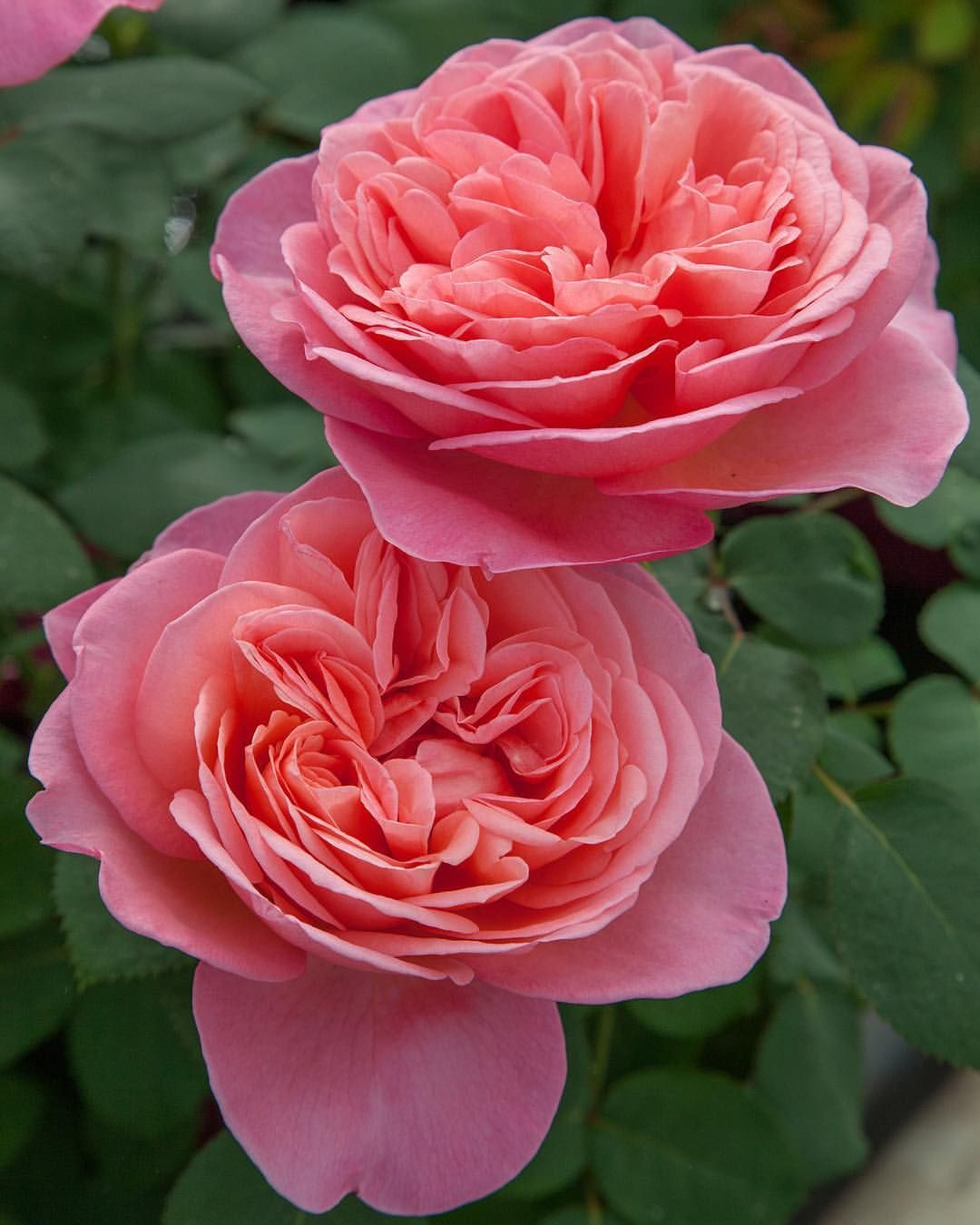 article on rose flower