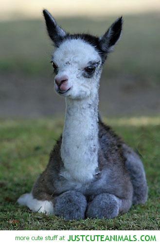 Llama Bebe Cute Little Thing Cute Animals Baby Llama