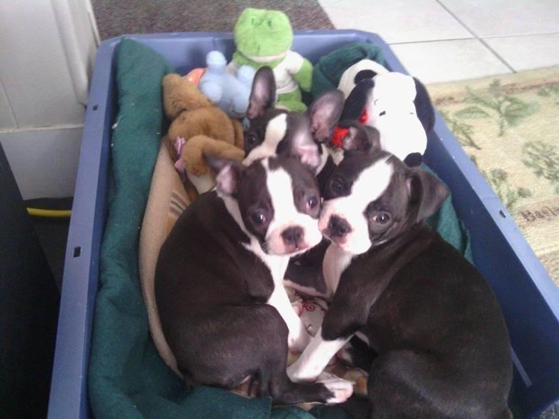 Red Weiner Dogs Miniature Red Dapple Dachshund Puppies For Sale