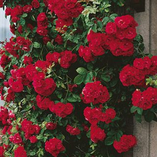 Top Climbing Roses Best Free Home Design Idea Inspiration