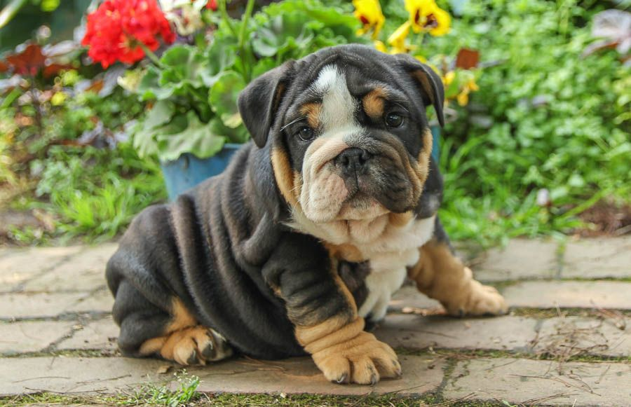 Wringly Englishbulldog English Bulldog Puppies Best Pets For