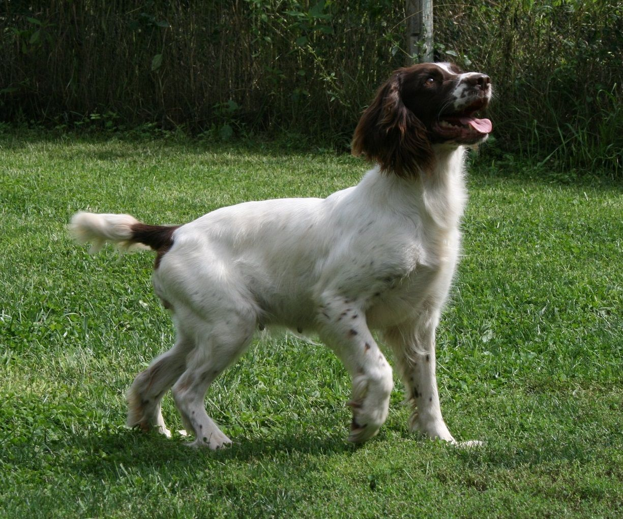 Labrador Retriever Puppies For Sale Wisconsin English Springer Spaniel Puppies For Sale Wisconsin Animals Dogs Litter