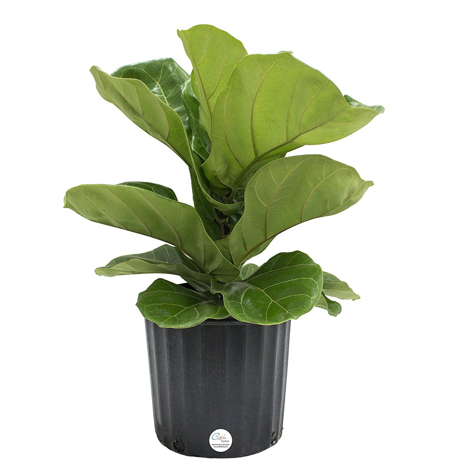 Amazoncom Costa Farms, Premium Live Indoor Burgundy Rubber Plant, Ficus