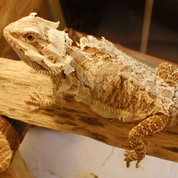 Where Do Bearded Dragon S E From What The Most Mon Bear In Uk Size Can They Grow To And How Long Live