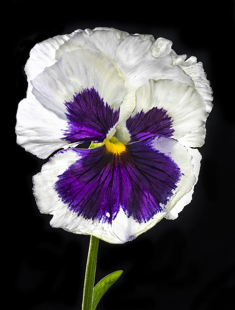 Backlit Purple And White Pansy Pansies Pinterest Pansies