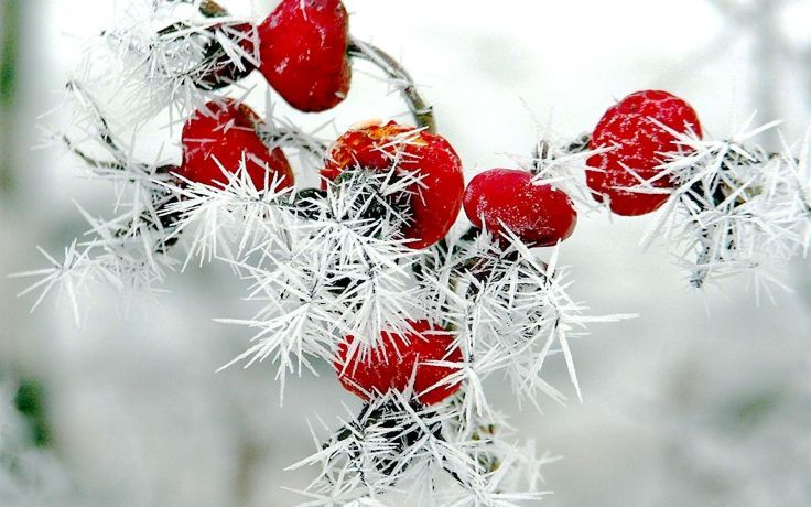 White Snow Red Berries With Images Red Berries Winter Snow