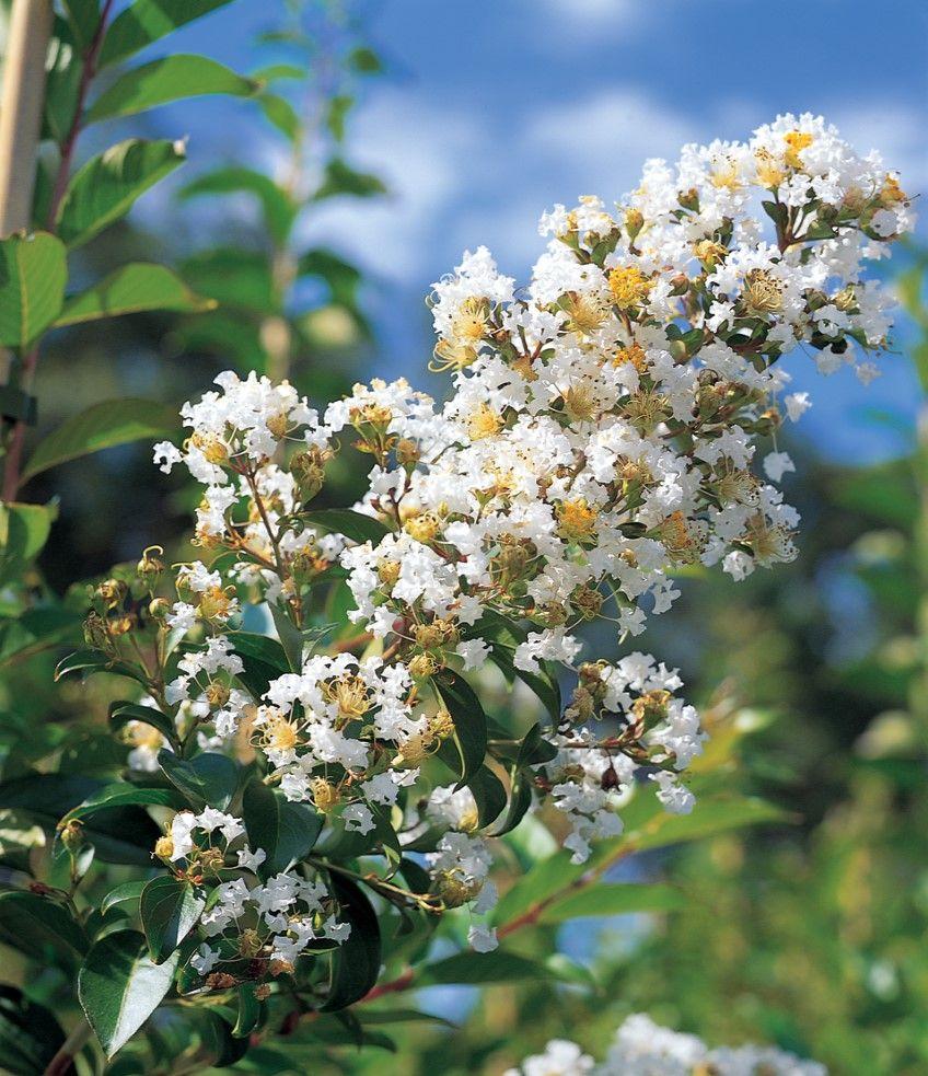 Crepe Myrtle \'Natchez\'. Superb white flowering. 8m high – 6m wide ...