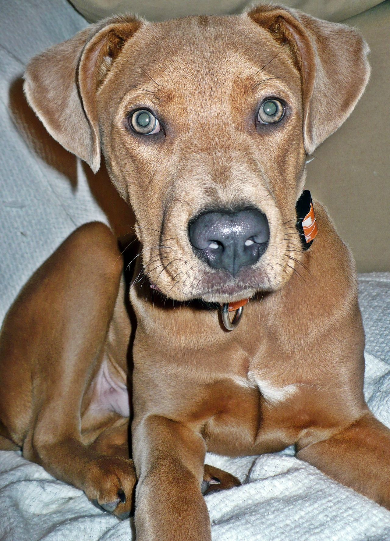 Pin By Barbara Tomlin On Diggy Dogs Mixed Breed Dogs Unique Dog Breeds Weimaraner