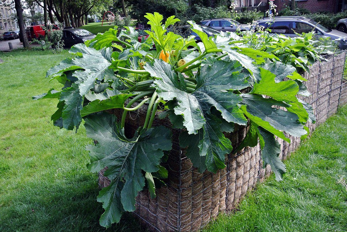 Unsere Zucchini Pflanze Ubertrifft Alle Erwartungen Pflanzen Garten Zucchini