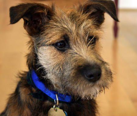 Schnauzer Cross Dachshund Google Search Border Terrier
