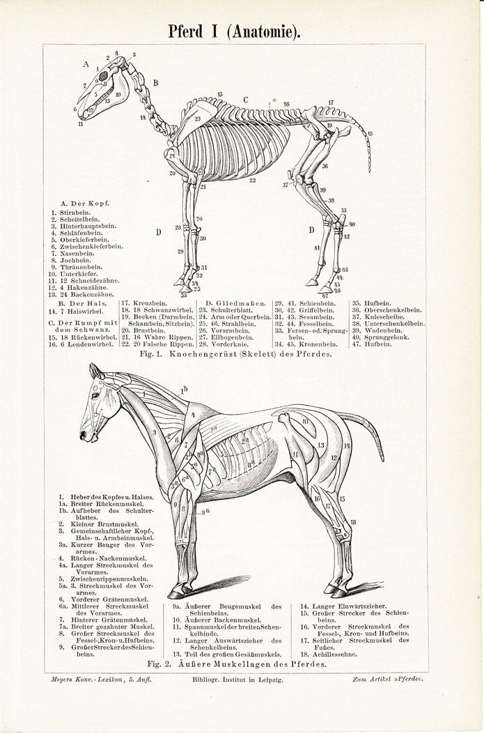 1897Antique HORSE ANATOMY print, Musculature and skeleton of the ...