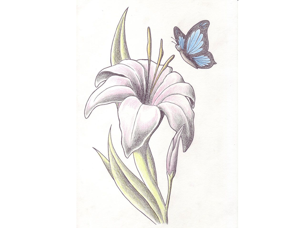 lily tattoo sketch free designs butterfly is landing to the