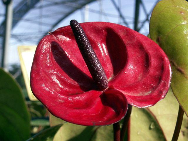 Anthurium Langue De Feu Flamant Rose Fleur Flore Ile De La Reunion