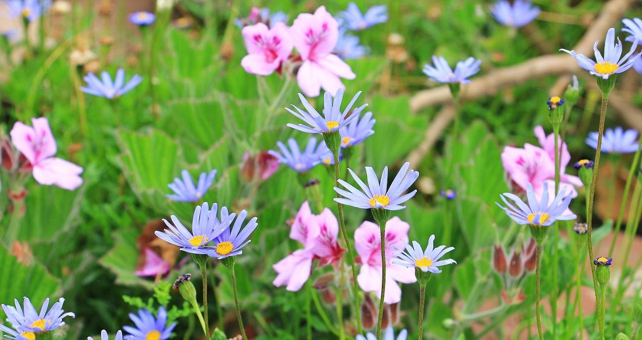 Garden Blue Daisy Australian Daisy Daisy Flowers Garden Blue