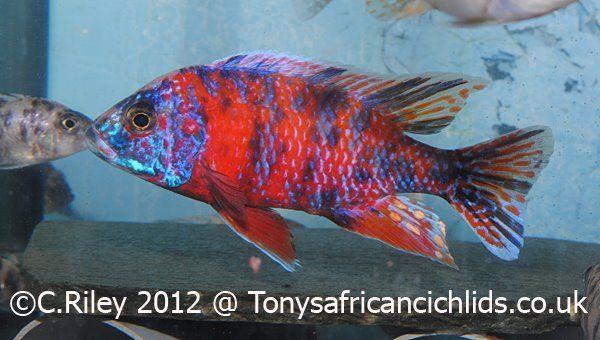 Aulonocara Ob Fire African Cichlid Tank Cichlid Fish African Cichlids
