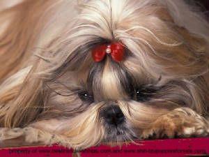 Dog Barking Sound Angry Shih Tzu Puppy Shih Tzu Puppy Shih Tzu Dog Barking Sound