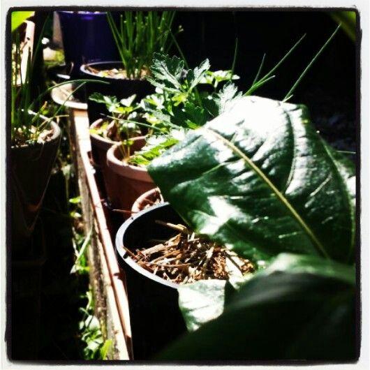 Herbs ♡ winter sun