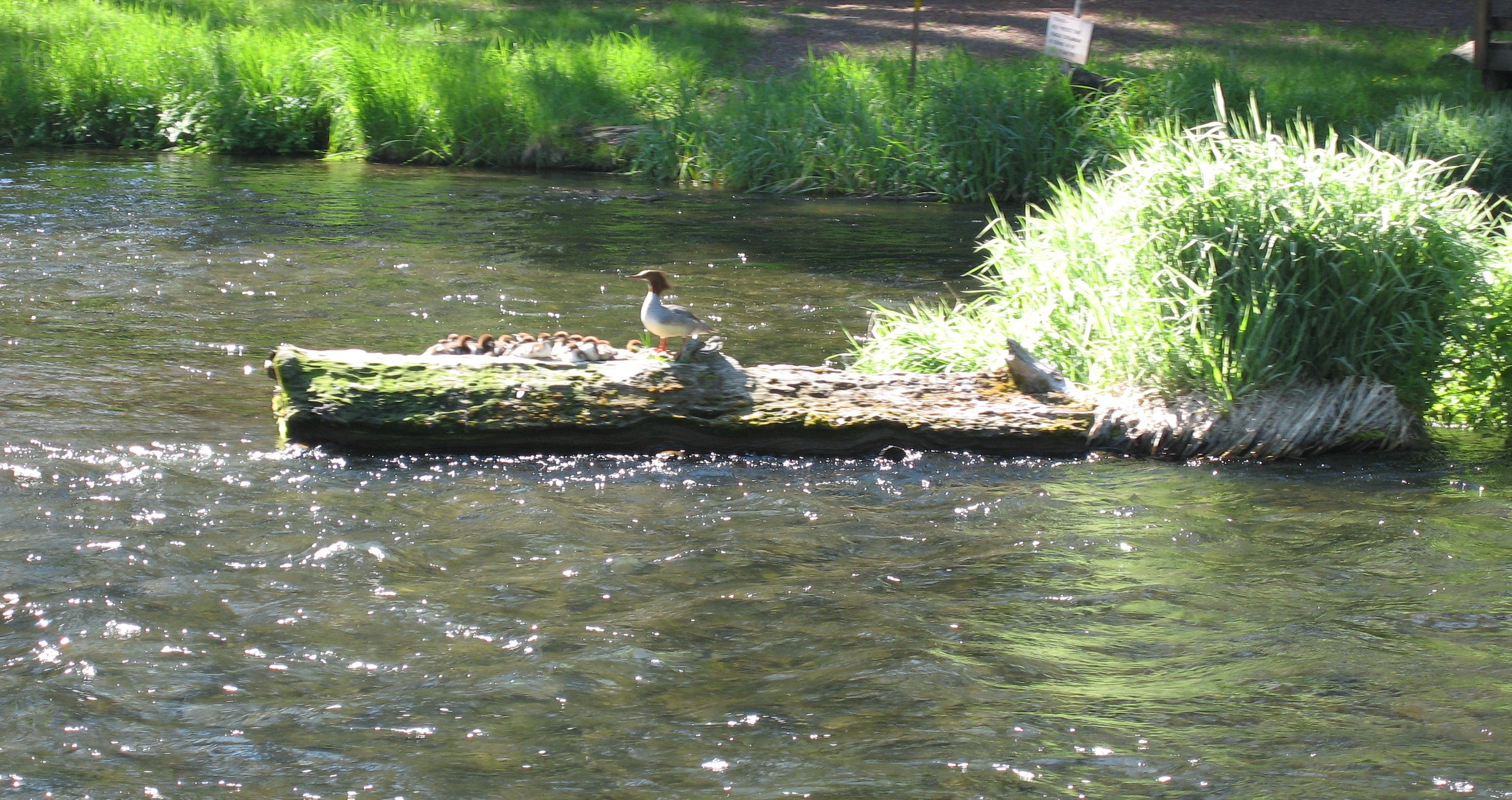 The Merganser and her chicks at the Metolius River, OR