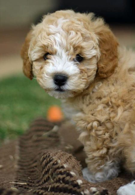 Annabel The Poodle Mix Cute Puppy Names Poodle Mix Puppy Paws