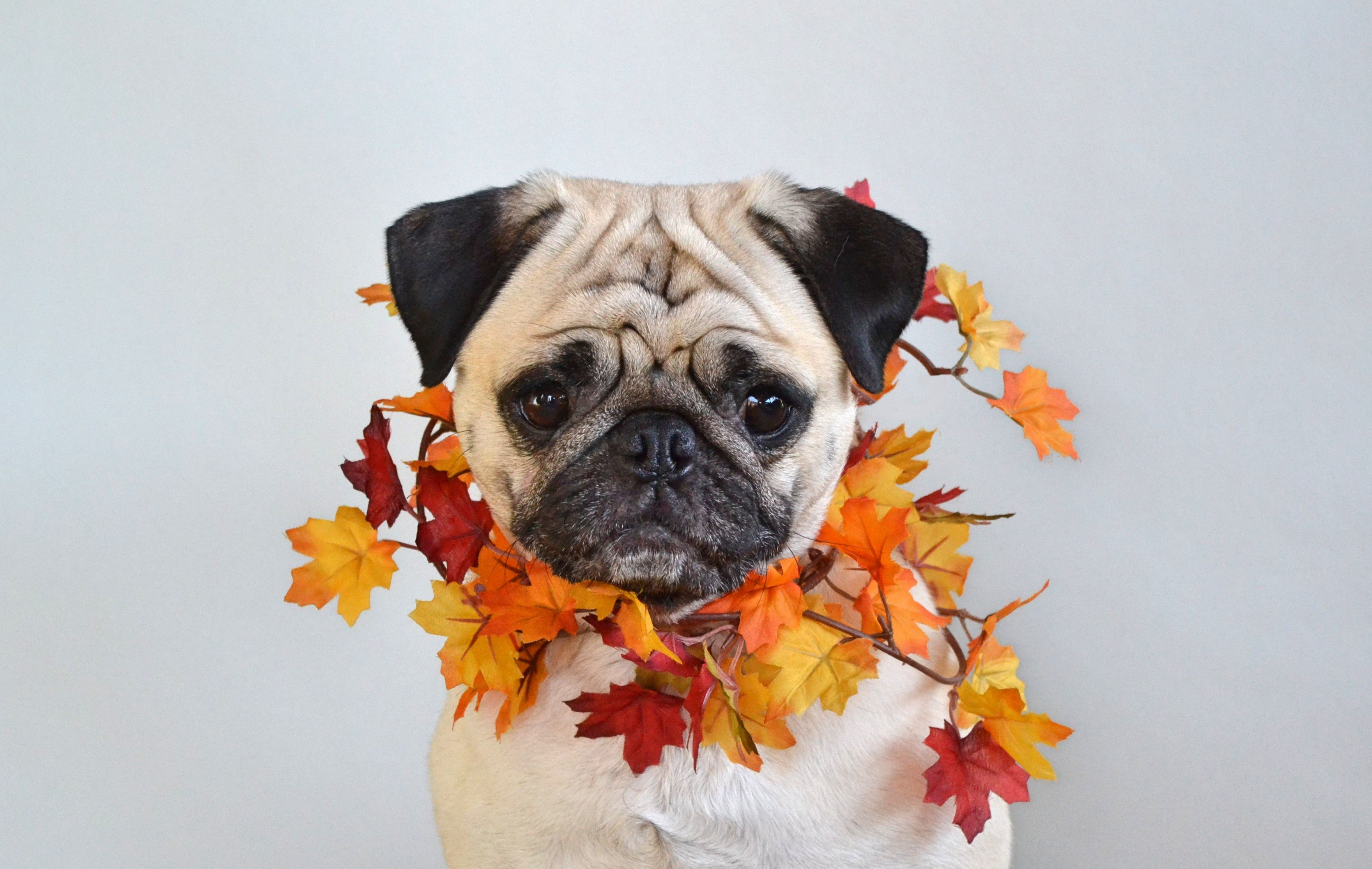 Pin By Trish Breiten On Autumn Time Wallpaper Cute Funny Dogs