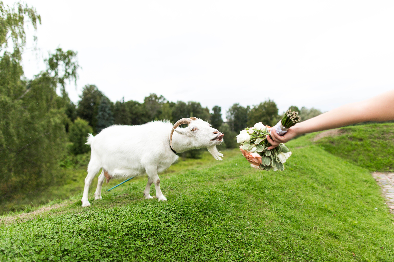 стелле повезло, картинки коза свадьба начинается внезапно