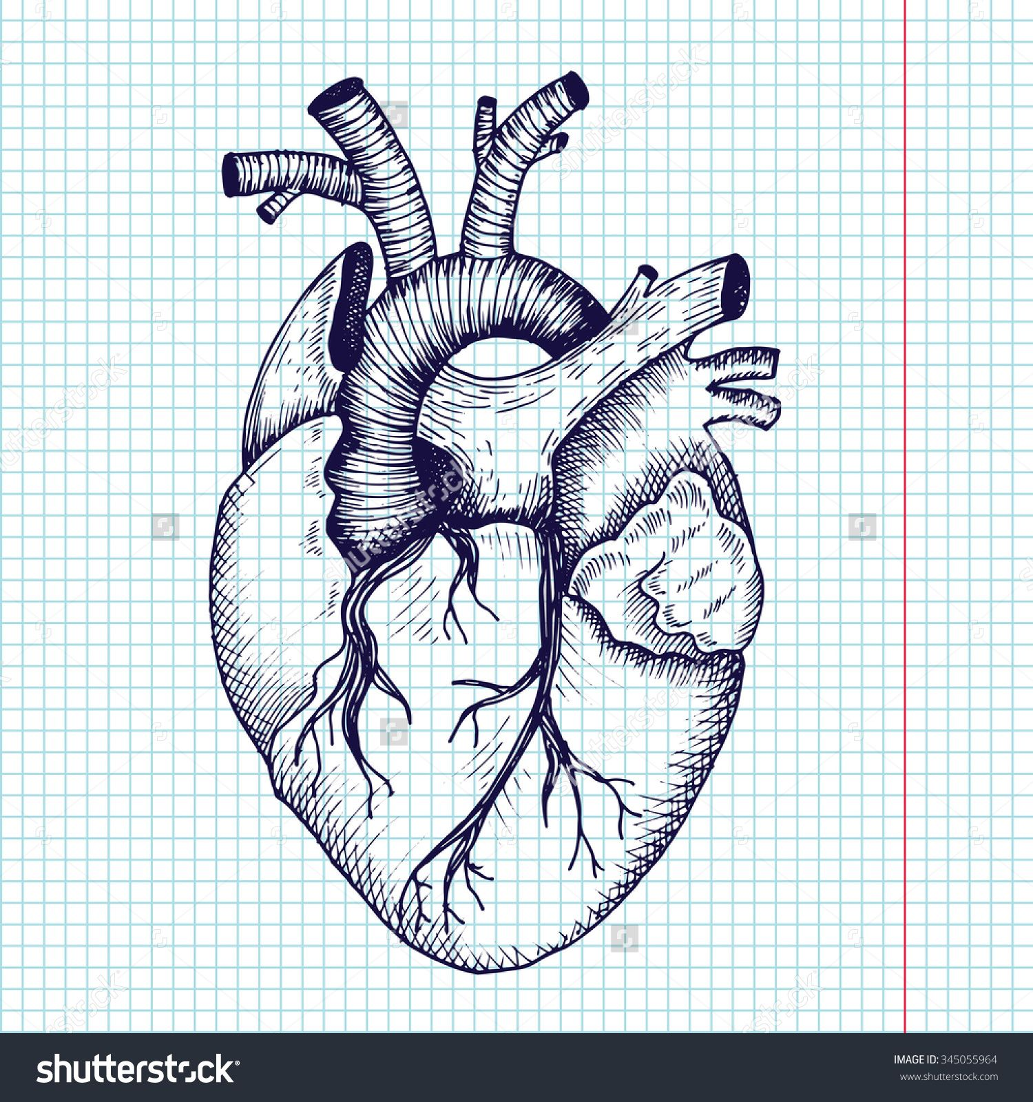 stock-vector-anatomical-heart-vector-vintage-style-detailed ...