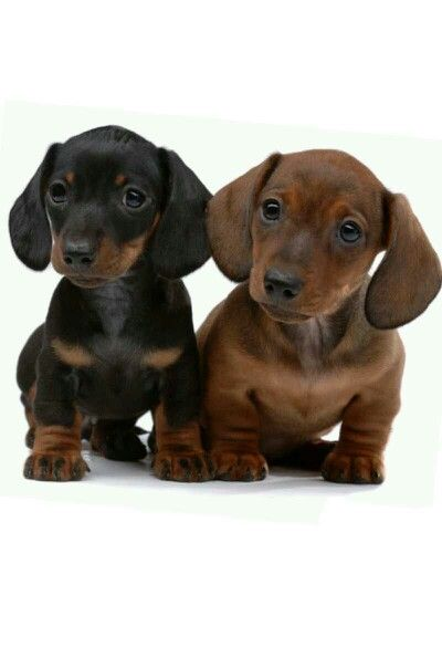 Baby Dachshunds With Images Baby Dachshund Dachshund Puppies