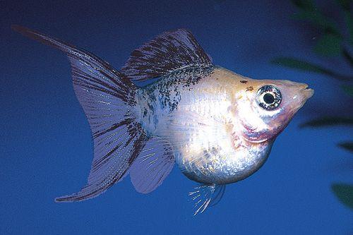 Molly Lyretail Sunset Balloon Reg Poecilia Velifera Molly Fish Aquarium Fish Tropical Fish