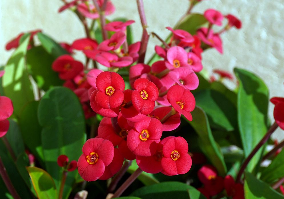 Euphorbia Millii With Red Flowers