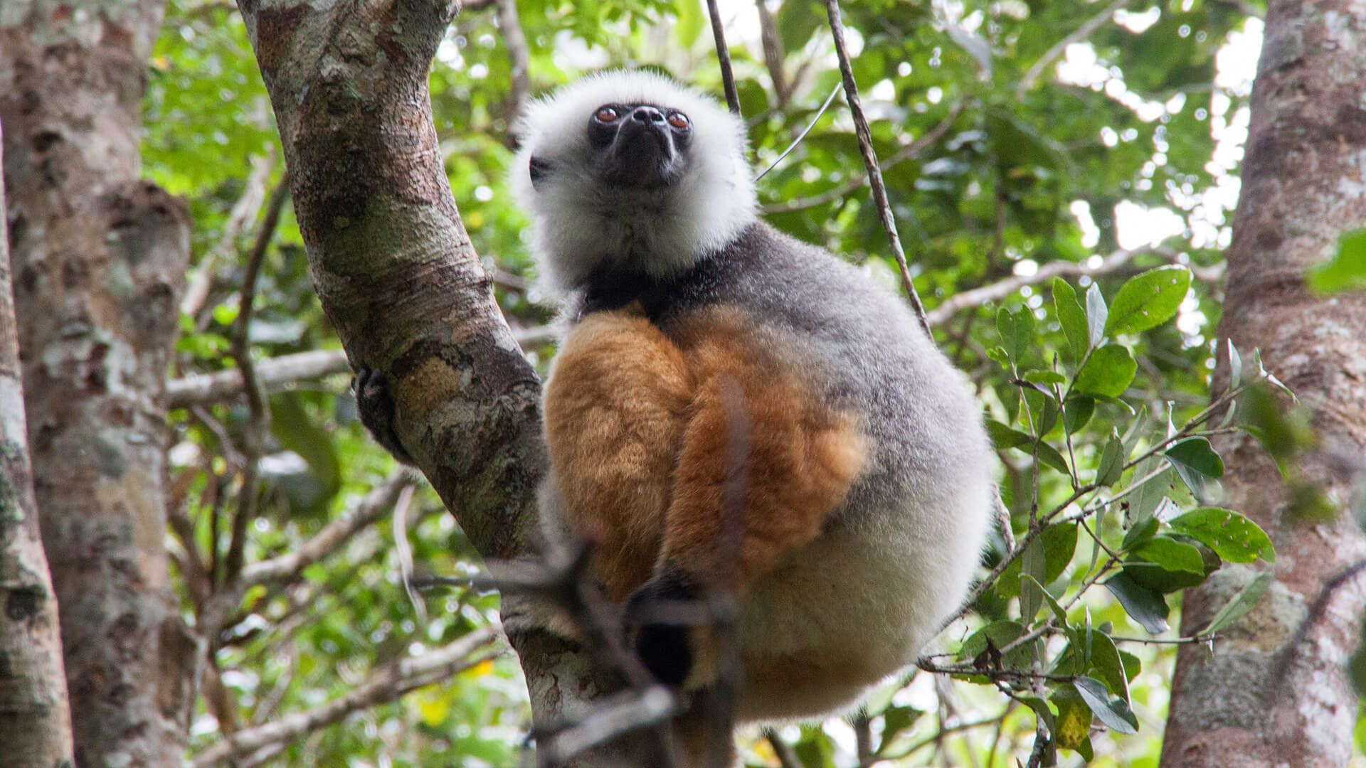 Andasibe Auf Kuschelkurs Mit Madagaskars Lemuren Madagaskar Kuscheln Die Gute Nachricht