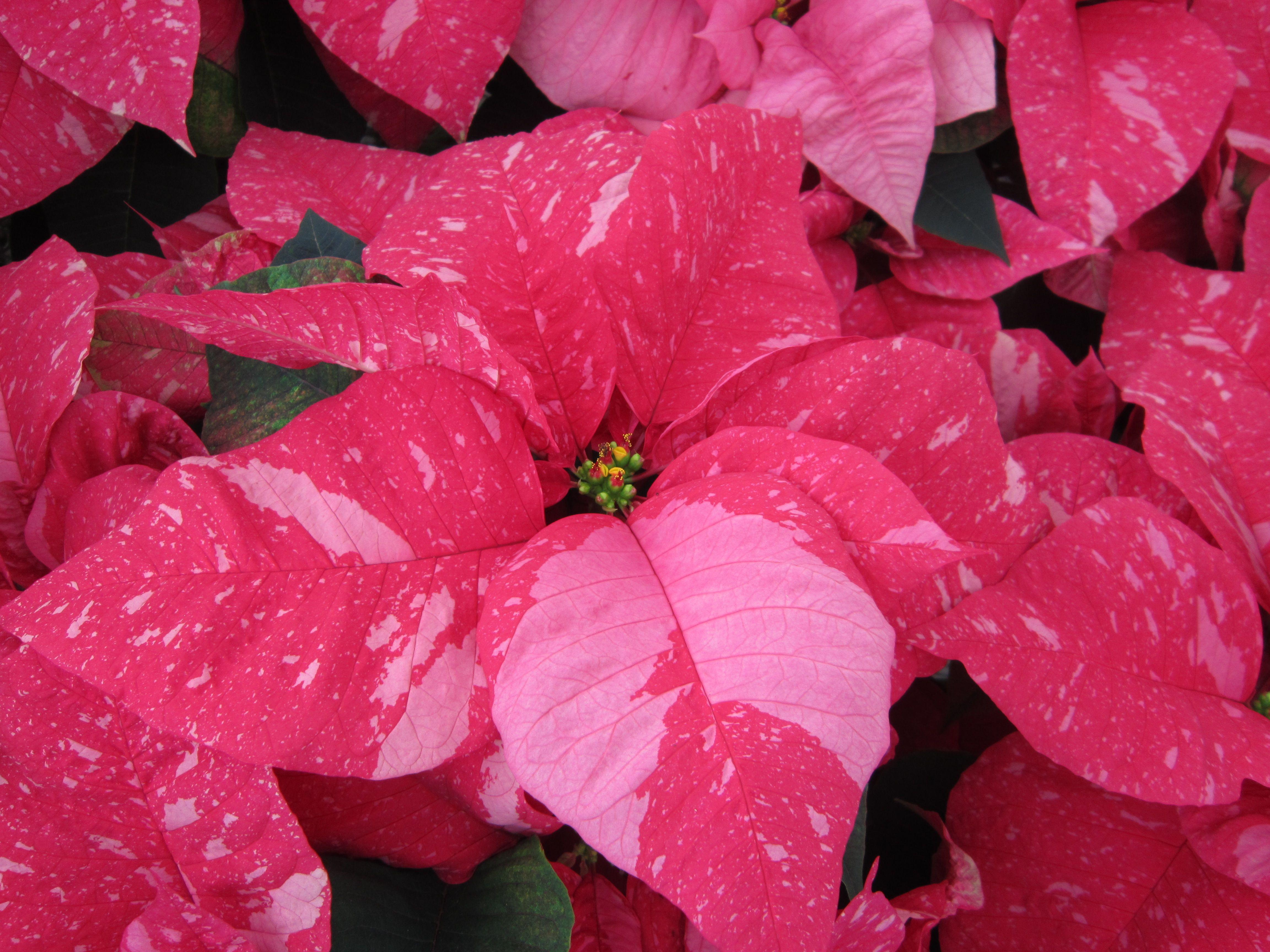 'Jubilee Jingle Bells' Poinsettia Poinsettia, Jingle