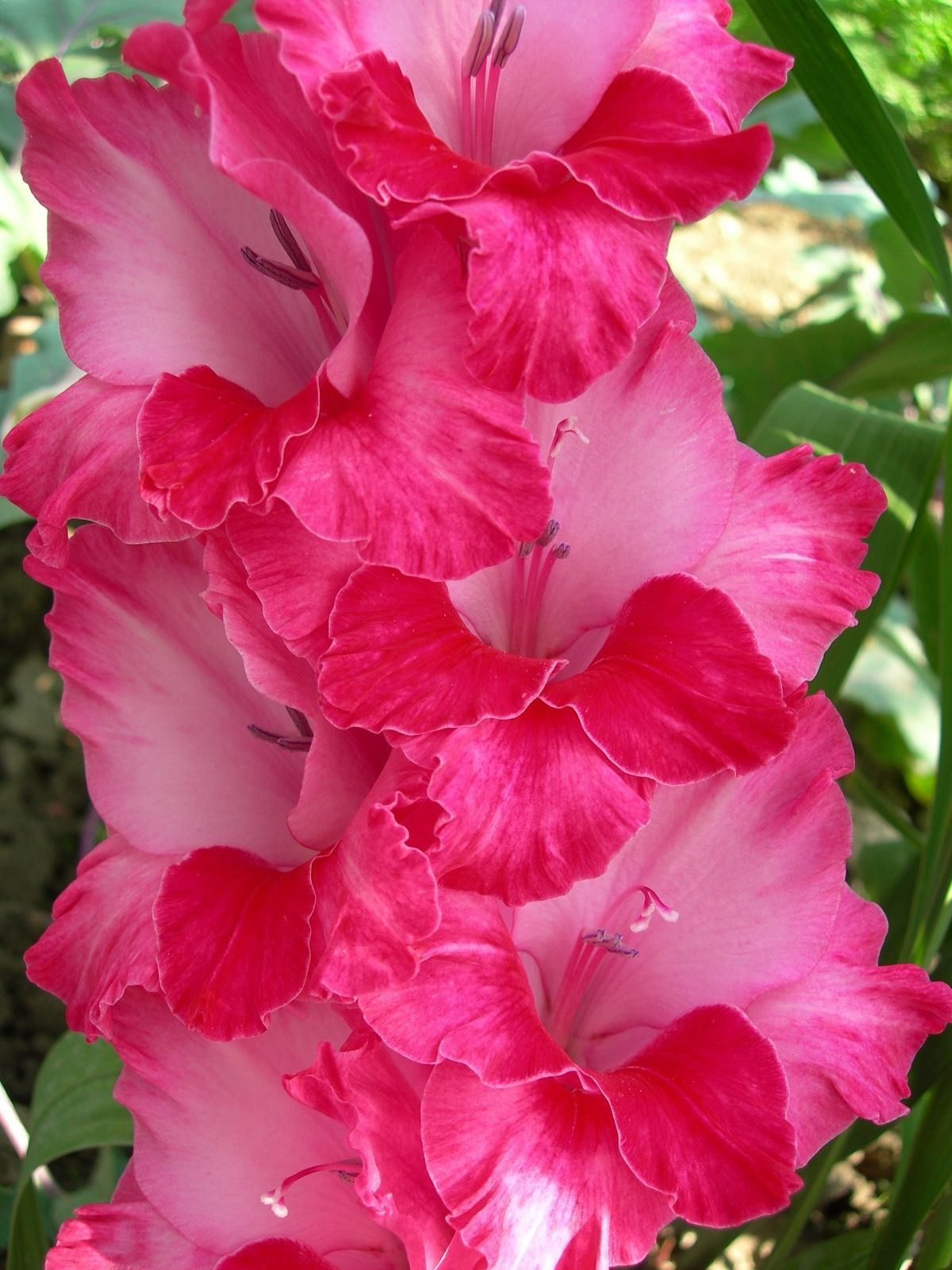 Gladiolas mean strength of character. Flowers, Gladiolus