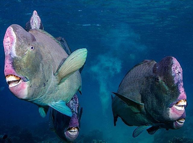 the green humphead parrotfish animals