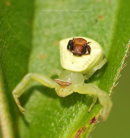 d1468db9b92ec38c3d76d15b407630f6 - How To Get Rid Of Crab Spiders In Hawaii